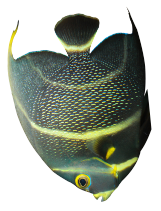 Angelfish name silhouette