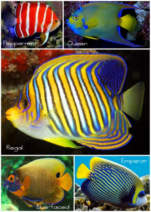Angelfish collage