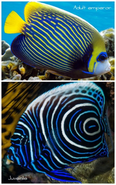 Adult and juvenile emperor angelfish
