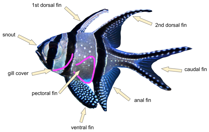 Basic elements of fish ID (fins, gills and snout)
