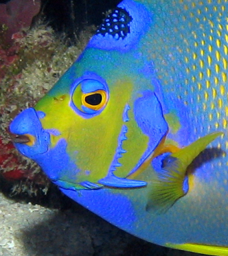 Queen angelfish - thorns on gill cover