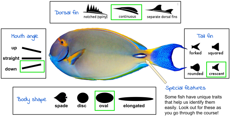 Surgeonfish broken down into ID elements