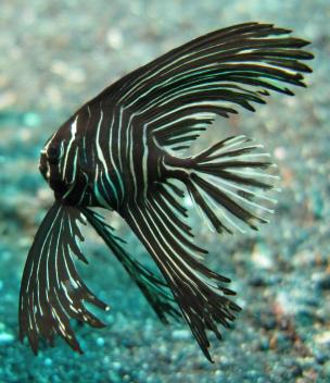 batavia batfish 2