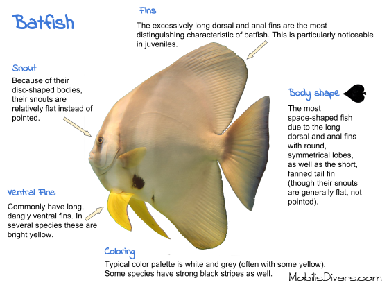 Batfish Anatomy