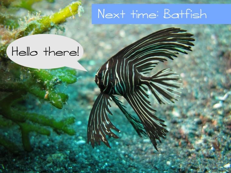 Juvenile zebra batfish
