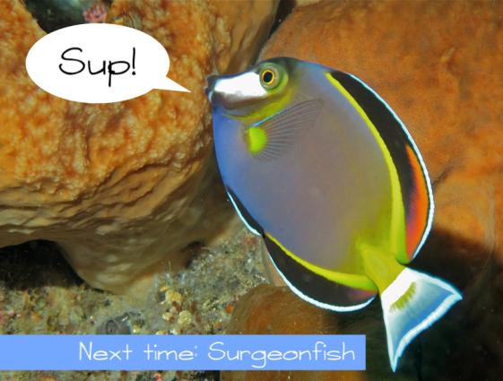 surgeonfish hello